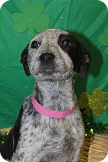 Australian Cattle Dog Mix Puppy for adoption in Waldorf, Maryland - Viola