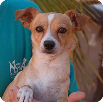 Chihuahua Mix Dog for adoption in Las Vegas, Nevada - MIkael