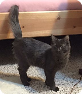 Domestic Mediumhair Cat for adoption in Sacramento, California - Cinder