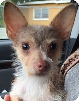 Yorkie, Yorkshire Terrier/Chihuahua Mix Dog for adoption in Orlando, Florida - Chloe