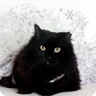 Domestic Longhair Cat for adoption in Stockton, California - Molly