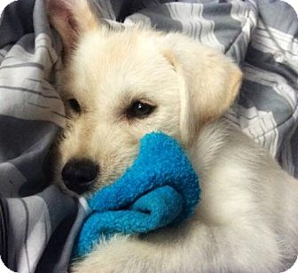 Great Pyrenees/Irish Wolfhound Mix Puppy for adoption in Kyle, Texas - Frankie