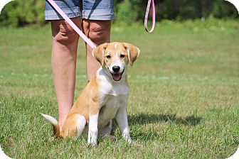 Collie/Labrador Retriever Mix Puppy for adoption in West Milford, New Jersey - LILAH- pending