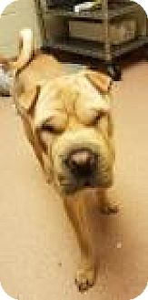 Shar Pei Mix Dog for adoption in Columbus, Georgia - Juice 8252