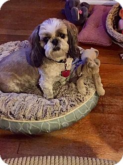 Shih Tzu Dog for adoption in Overland Park, Kansas - Lucy