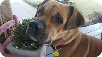 Rhodesian Ridgeback/Boxer Mix Dog for adoption in Dallas, Texas - Frieda