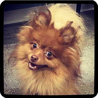 Pomeranian Dog for adoption in Grand Bay, Alabama - Hershey