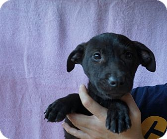 Corgi/Labrador Retriever Mix Puppy for adoption in Oviedo, Florida - Rose