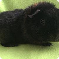 Adopt A Pet :: Haribo - Steger, IL