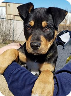 Rottweiler Mix Puppy for adoption in Claremore, Oklahoma - Wally
