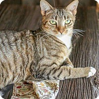 Domestic Shorthair Cat for adoption in Fayette City, Pennsylvania - Leo