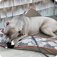 Adopt A Pet :: Shade - Ridgefield, CT