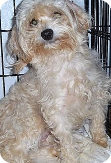 Poodle (Miniature)/Chihuahua Mix Dog for adoption in Anderson, South Carolina - Ottie Mae