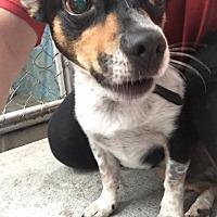 Adopt A Pet :: Bolt - Joplin, MO