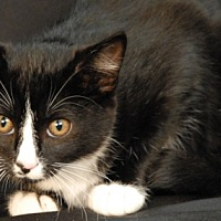 Adopt A Pet :: Chicory - Newland, NC