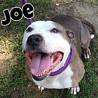 Adopt A Pet :: Joe - Jackson, NJ