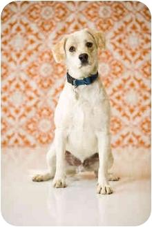Springer Spaniel/Labrador Retriever Mix Dog for adoption in Portland, Oregon - Oreo
