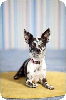 Chihuahua Mix Dog for adoption in Portland, Oregon - Confetti