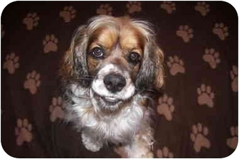 Cocker Spaniel Mix Dog for adoption in Mentor, Ohio - Mozart 2yr Adopted