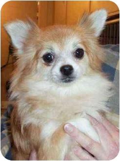 Pomeranian/Chihuahua Mix Dog for adoption in Kokomo, Indiana - ZiMa