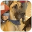 Photo 1 - Great Dane Dog for adoption in Murfreesboro, Tennessee - Daisy- ADOPTED