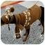 Photo 3 - Miniature Pinscher Mix Dog for adoption in San Dimas, California - Fritz