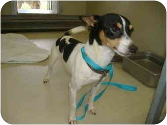 Rat Terrier Dog for adoption in Sachse, Texas - Toby