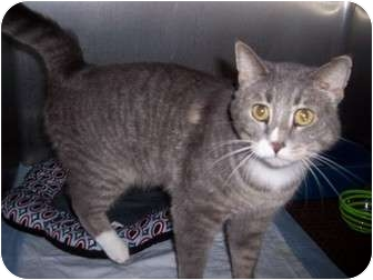 Domestic Shorthair Cat for adoption in New London, Wisconsin - Albert