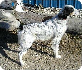 English Setter Dog for adoption in Glenwood, Minnesota - Hobie