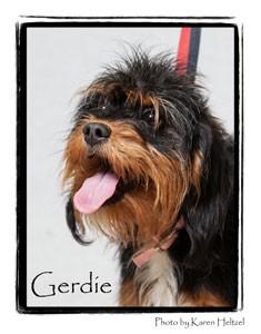 Terrier (Unknown Type, Small) Mix Puppy for adoption in Warren, Pennsylvania - Gerdie