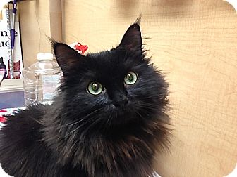 Domestic Shorthair Cat for adoption in Foothill Ranch, California - Sasha