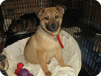 German Shepherd Dog Puppy for adoption in Greeneville, Tennessee - Jace