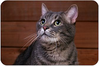 Domestic Shorthair Cat for adoption in Sterling Heights, Michigan - Hunter