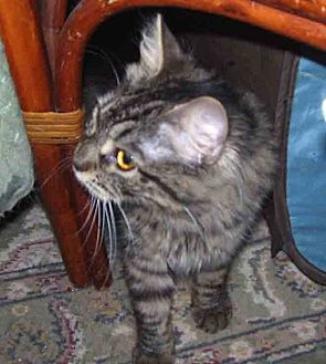 Domestic Mediumhair Cat for adoption in Gaithersburg, Maryland - Claudette