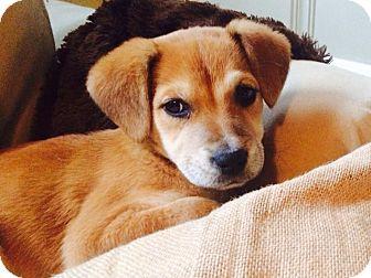 Labrador Retriever/Hound (Unknown Type) Mix Puppy for adoption in Baton Rouge, Louisiana - Clover