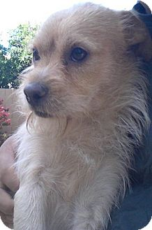 Cairn Terrier Mix Dog for adoption in Gilbert, Arizona - Felix