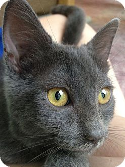 Domestic Shorthair Cat for adoption in Chattanooga, Tennessee - Newt