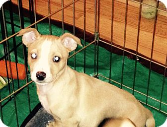 Chihuahua/Terrier (Unknown Type, Small) Mix Puppy for adoption in Covington, Washington - Howard