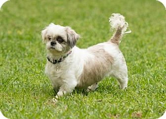 Shih Tzu Dog for adoption in Tallahassee, Florida - Claire - ADOPTED