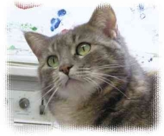 Maine Coon Cat for adoption in Peconic, New York - Holly