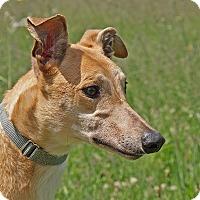 Adopt A Pet :: Rio - Portland, OR