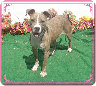 Retriever (Unknown Type)/Boxer Mix Dog for adoption in Marietta, Georgia - CALLIE (R)