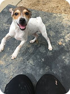 Feist/Jack Russell Terrier Mix Puppy for adoption in Barnwell, South Carolina - Cuba