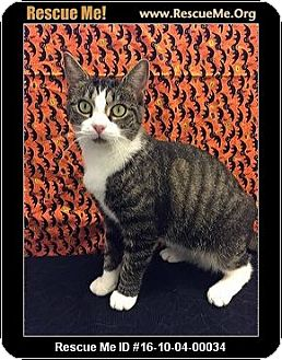Domestic Shorthair Kitten for adoption in Waldorf, Maryland - Nermal