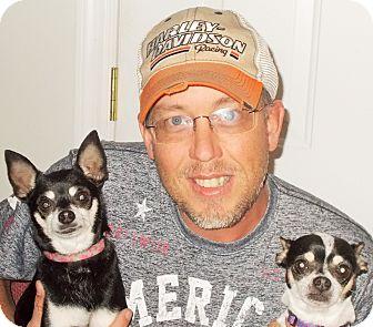 Chihuahua Dog for adoption in Plain City, Ohio - Festiss