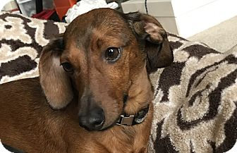 Dachshund Mix Dog for adoption in Tumwater, Washington - Quinner