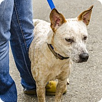 Adopt A Pet :: Lady - Middlebury, CT