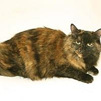 Domestic Mediumhair Cat for adoption in Alpharetta, Georgia - Scarlett