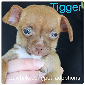 Chihuahua Mix Puppy for adoption in Agoura Hills, California - Tigger