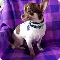 Adopt A Pet :: Curry - San Antonio, TX